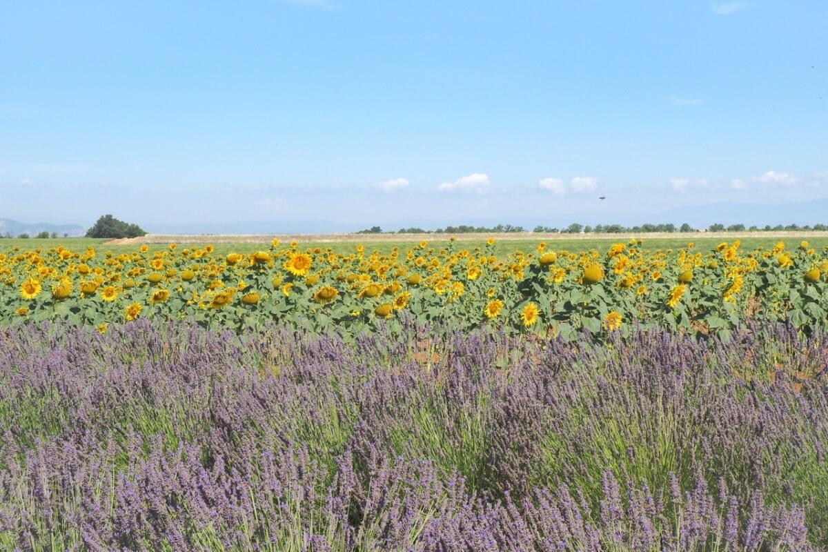 南フランス ラベンダー畑 向日葵畑
