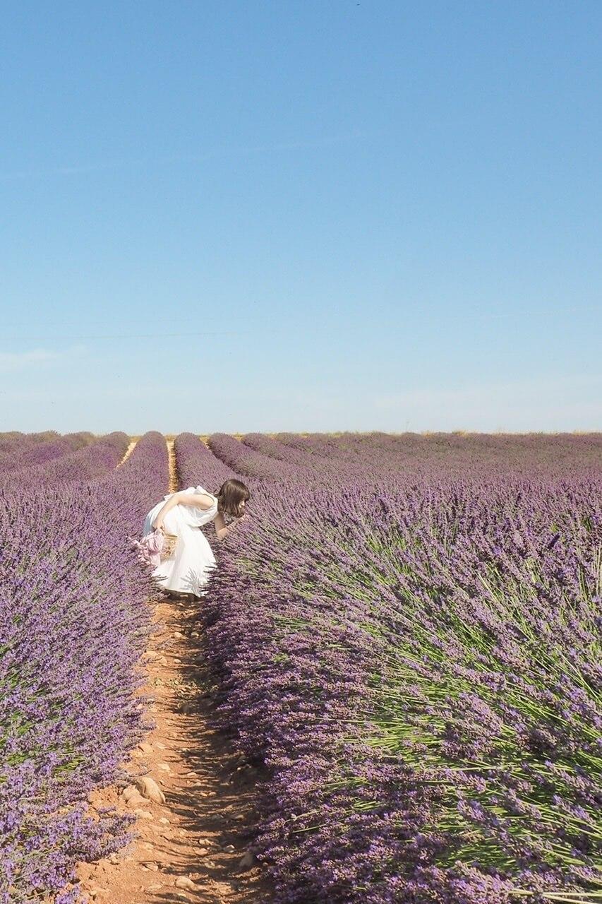 南仏 ラベンダー畑